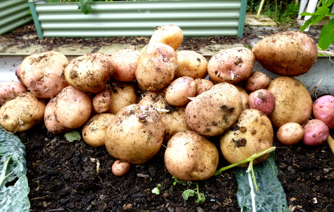 potatoes-bed-aug-2019