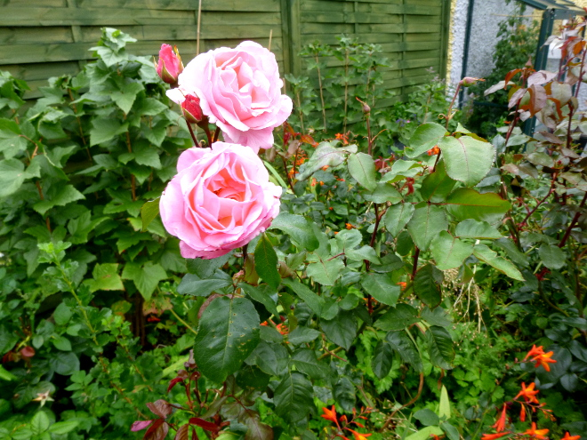 roses-aug-2019