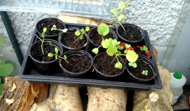 cabbage-seedlings-oct-2019