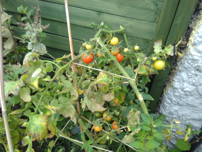 tomatoes-14-Oct-2019