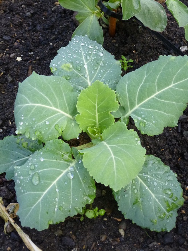 cabbage-jan-2020