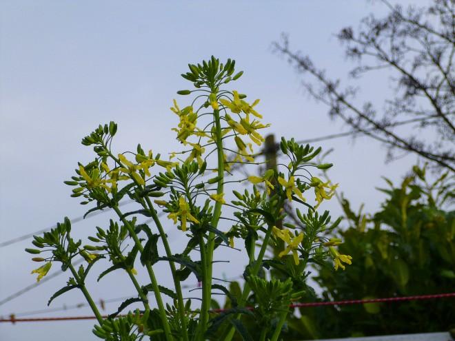 kale-flowers-jan-2020