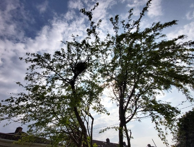 magpie-nest-april-2020