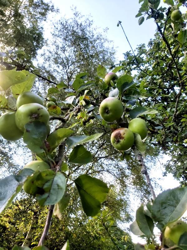 apple-tree1-aug-2020