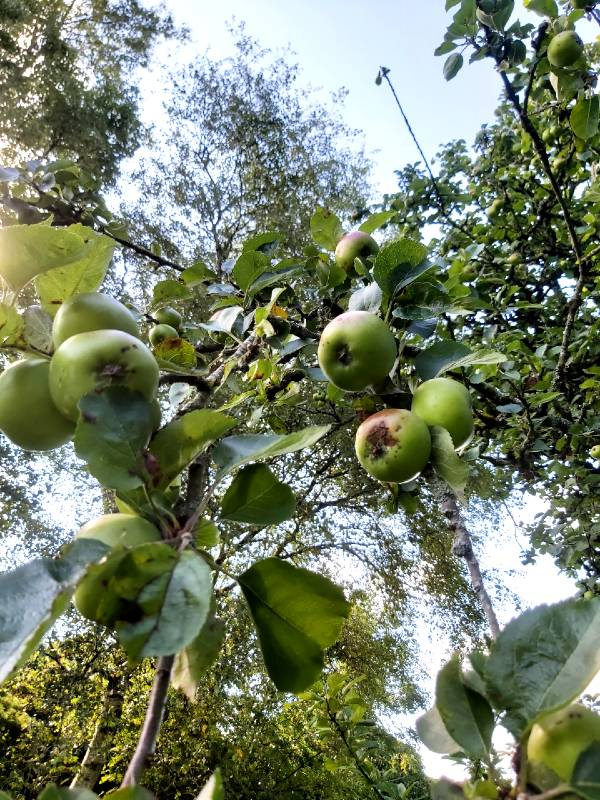 apple-tree1-aug-2020