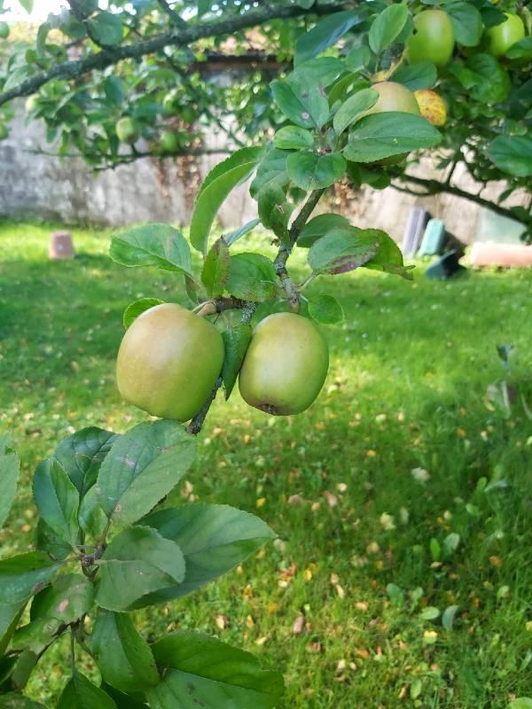 apple-tree2-aug-2020
