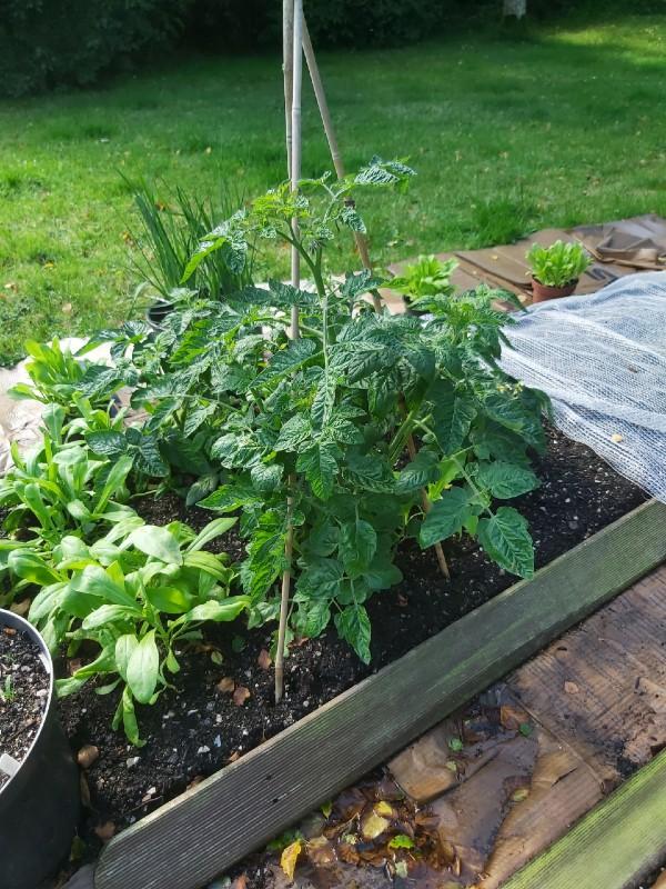 tomatoes-aug-2020